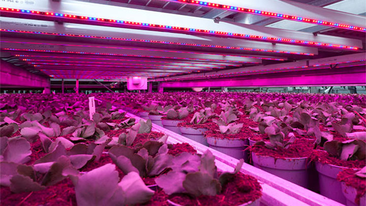 Plants at Kwekerij Vreugdenberg, the Netherlands, use Philips LED grow lights to ensure healthy growth