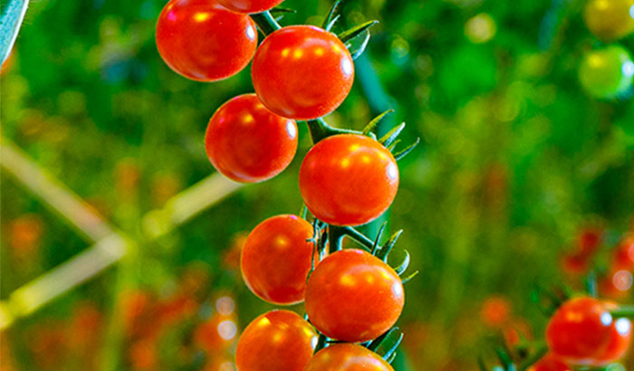 A whole season of hybrid tomato cultivation